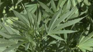 Anonymous tip leads deputies to marijuana grow operation in Calhoun County