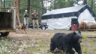 Hazing bear near Woodland Park