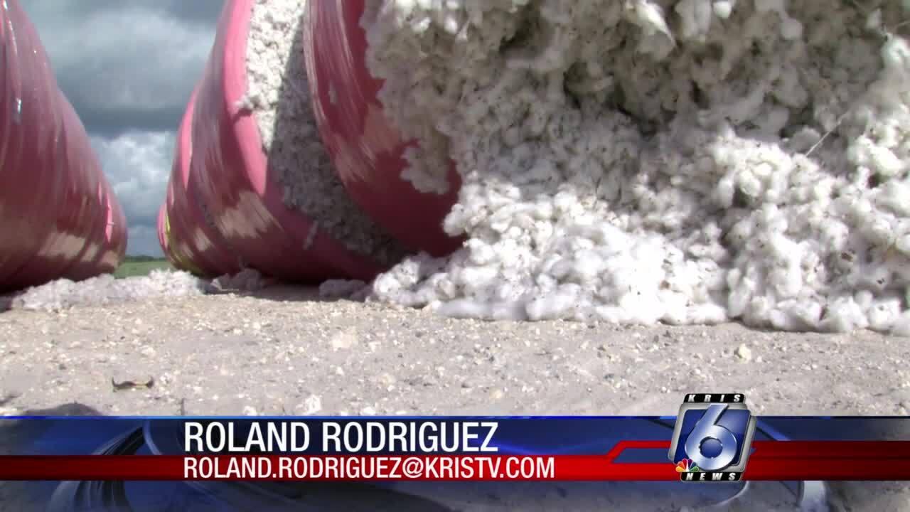 local-farmers-grappling-plastic-cotton