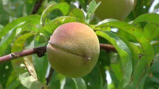 Livesay Orchard peach tree