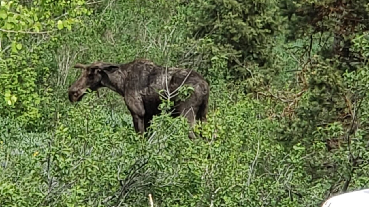Moose rescued from foundation at Park City construction site