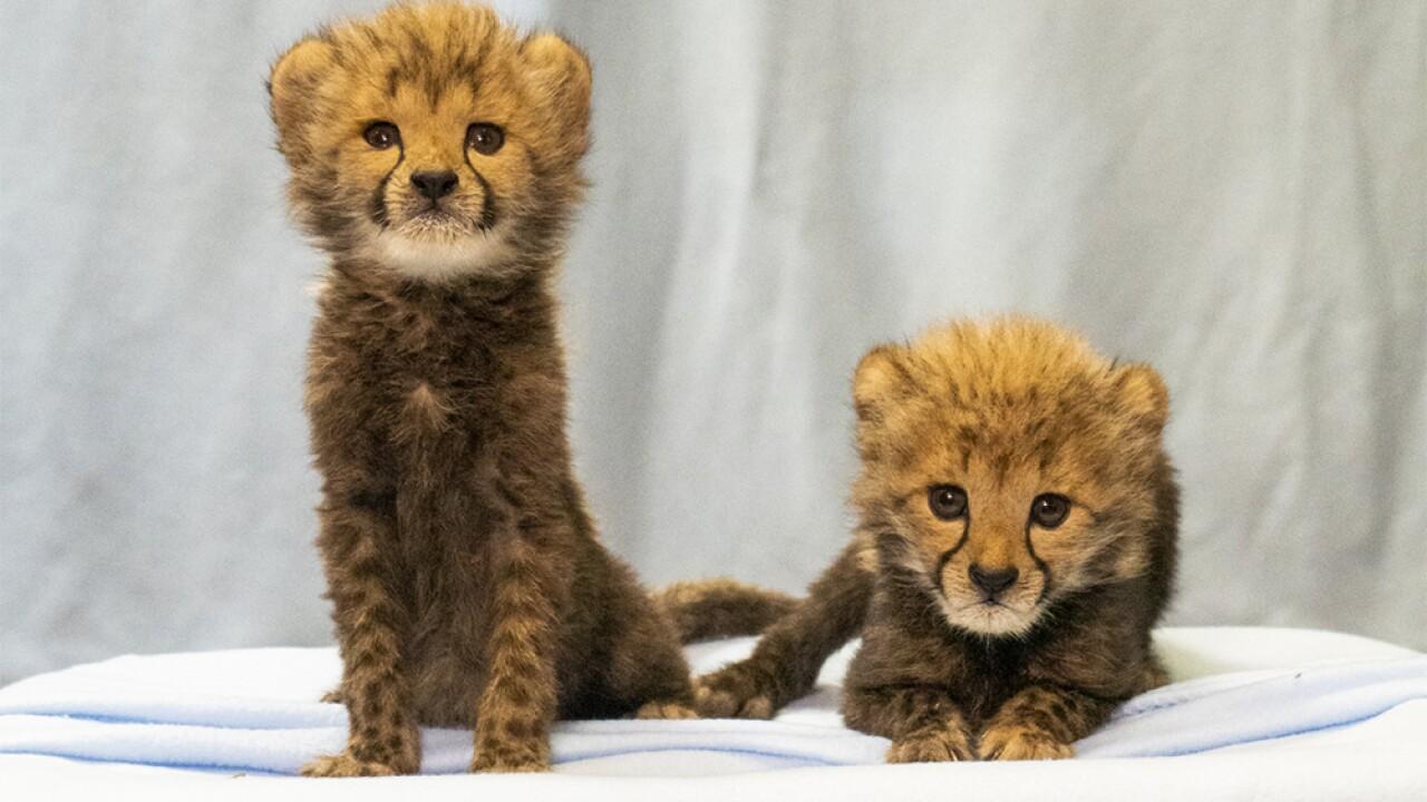 New Cheetah Cubs Arrive At Busch Gardens Tampa Bay