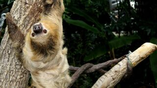 On International Sloth Day the Cincinnati Zoo recounts the confusing tale of Moe