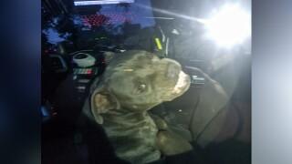 wptv-pit-bull-hijacks-police-car.jpg