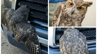 Owl rescued after getting hit, trapped in car's front grill