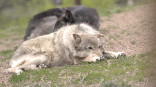 Wolves reintroduction to be voted on in Colorado