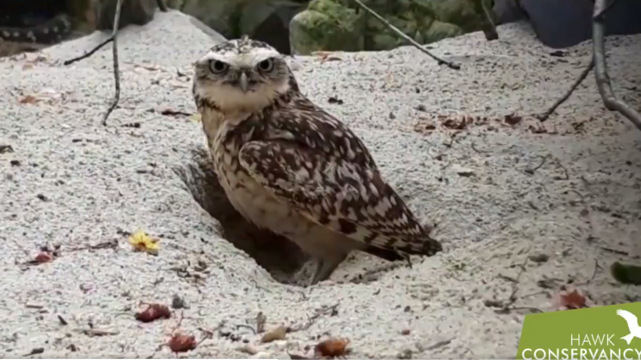 Burrowing owls remove hidden camera from English conservancy park
