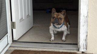 3-year-old French Bulldog plays hero, thwarts burglary\