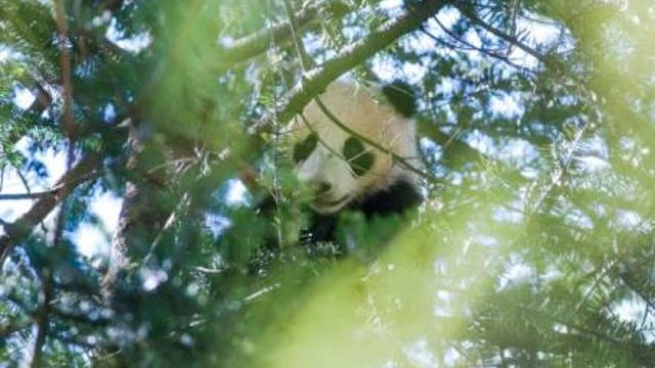 Pandas aren't out of woods, even more critical