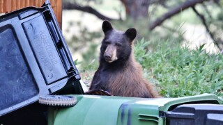 Bear in trash (CPW stock photo)