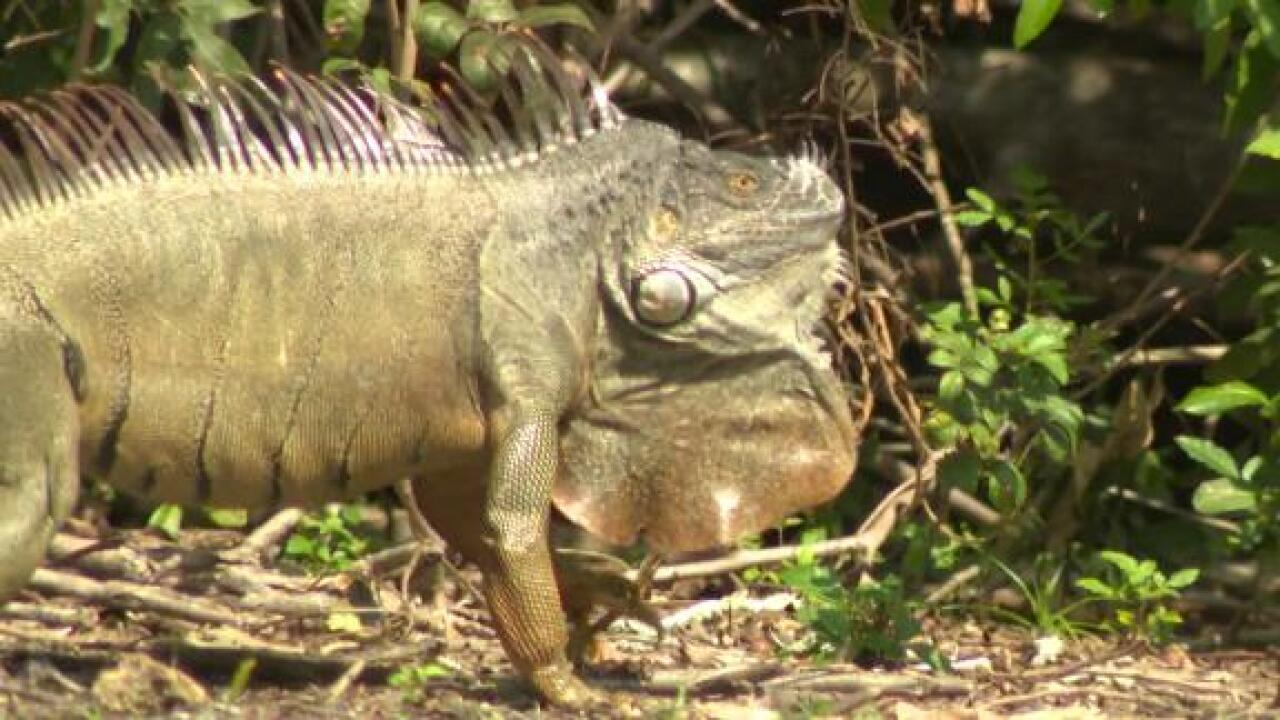 Florida officials clarify that they don't want people to go out and kill green iguanas 'whenever possible'