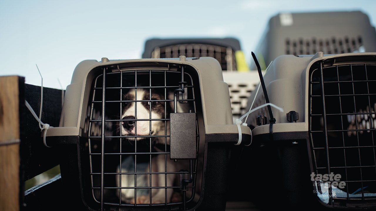 A Caribbean dog waits to be loaded onto a cargo plane escaping euthanization by hours.