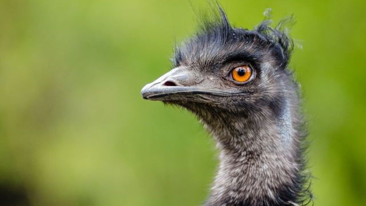 Police fatally shot 3 emus after being unable to catch them wandering in western Michigan