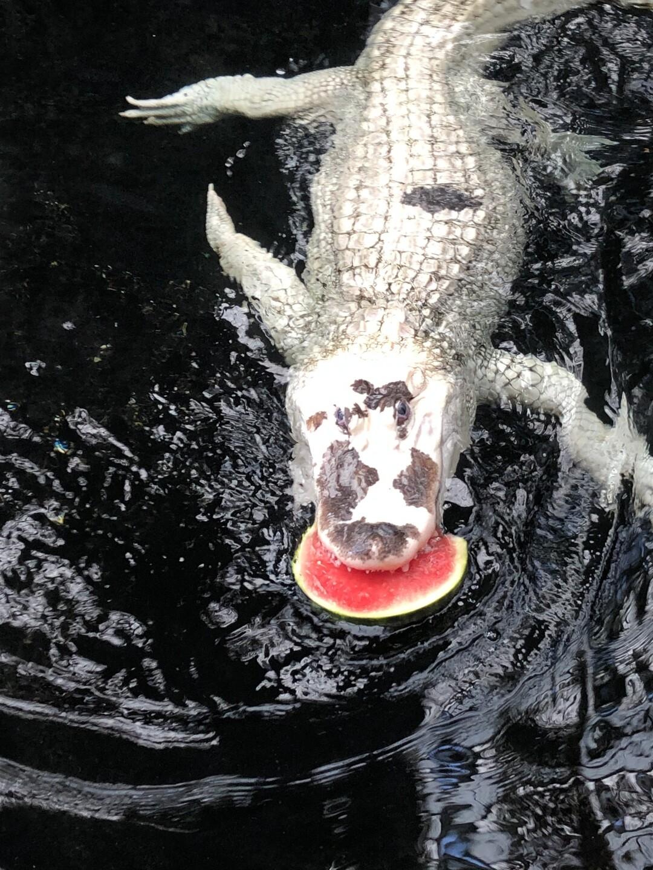 Photos: North Carolina Aquarium celebrates Bleu the alligator's 10thbirthday!