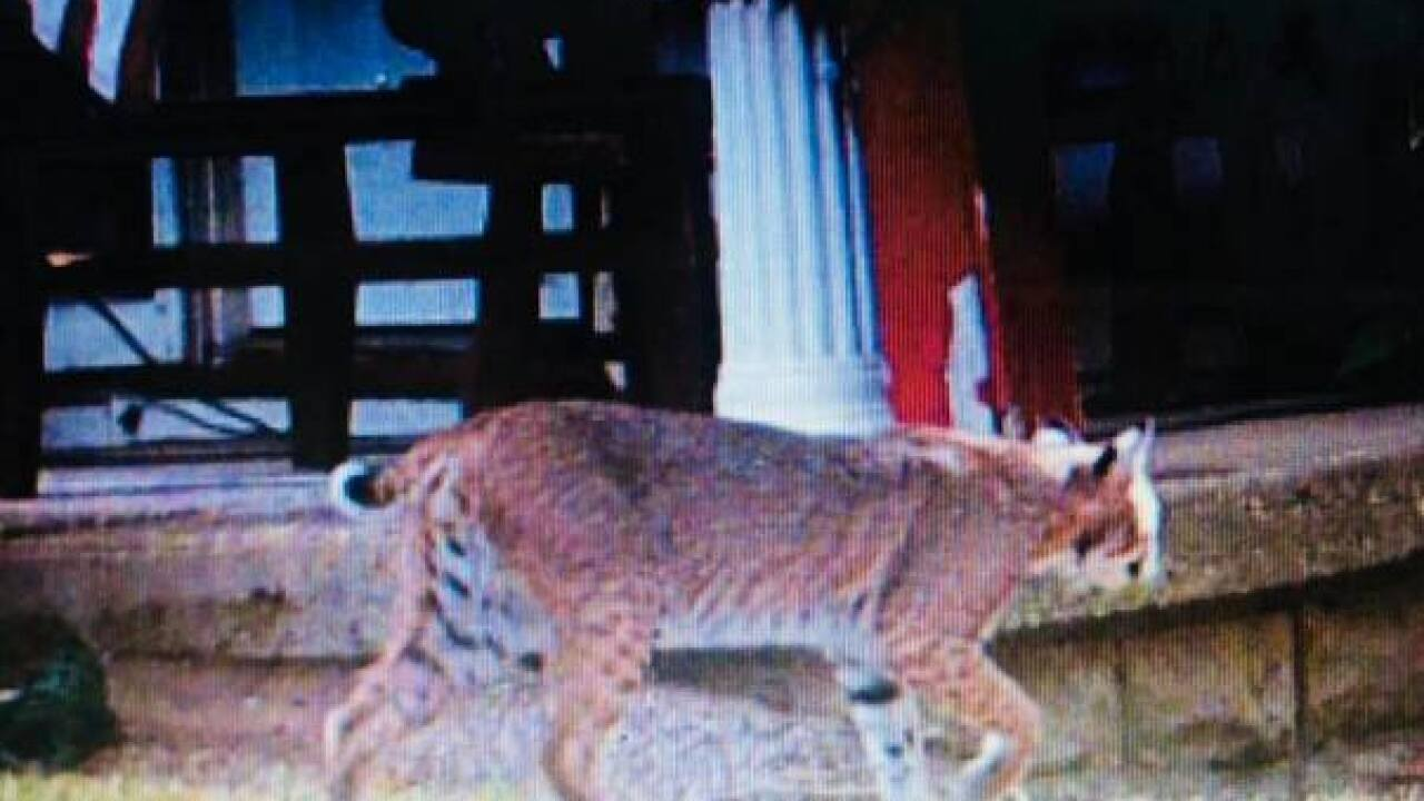 Woman spots large bobcat in Jenks