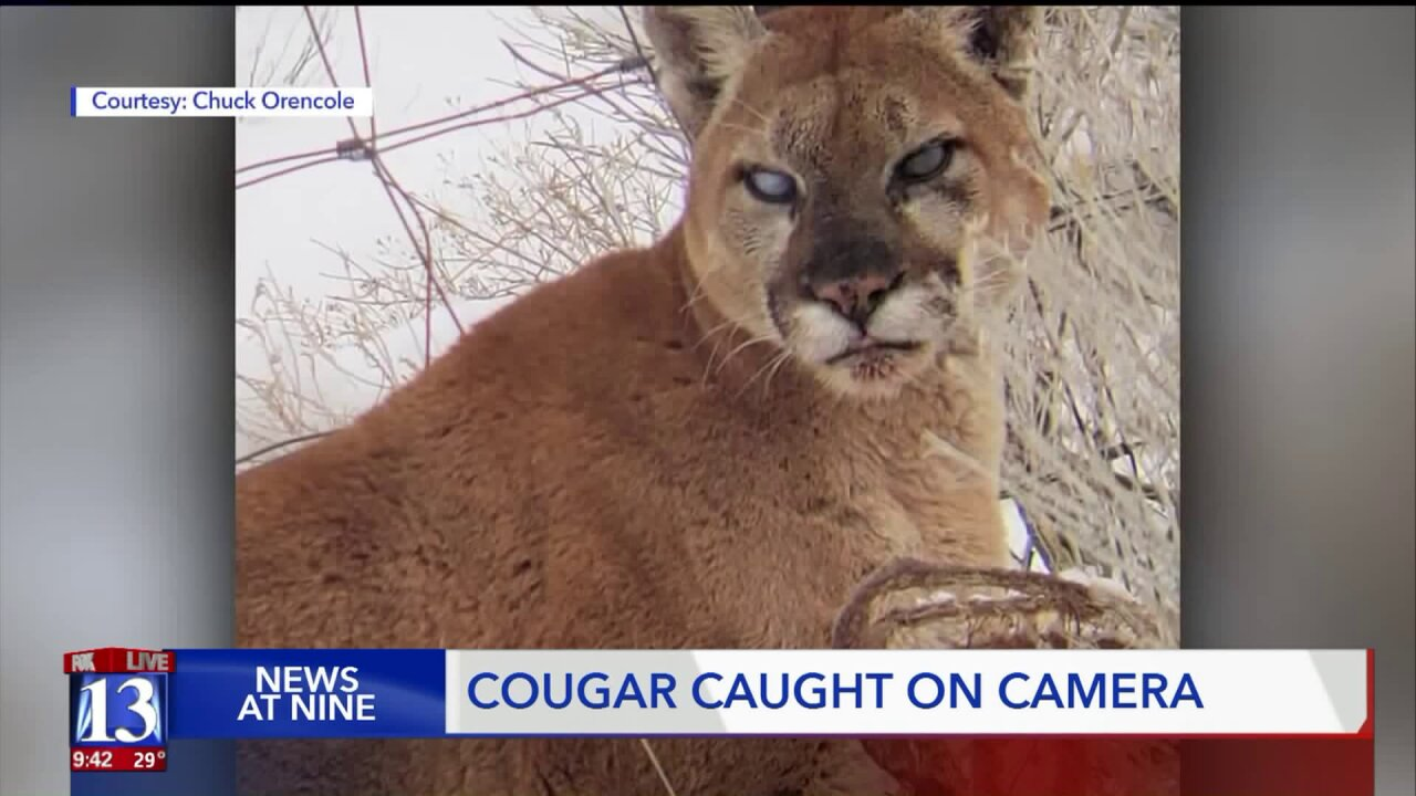 Mountain lion spotted hanging out near highway inHerriman