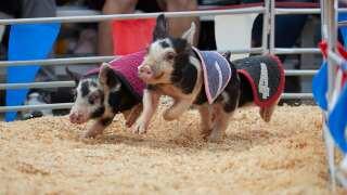 Swifty Swine Racing Pigs_3.JPG