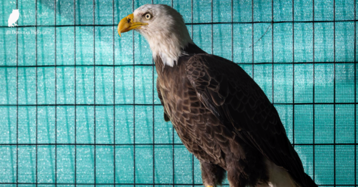 Injured bald eagle released after rescue and rehab by Hudson man