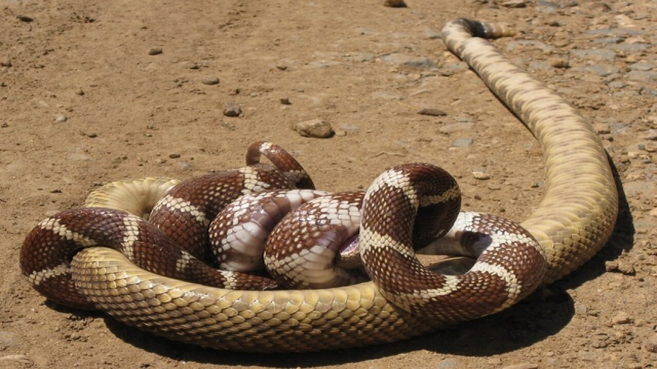 YIKES! 7 reasons to fear non-venomous snakes