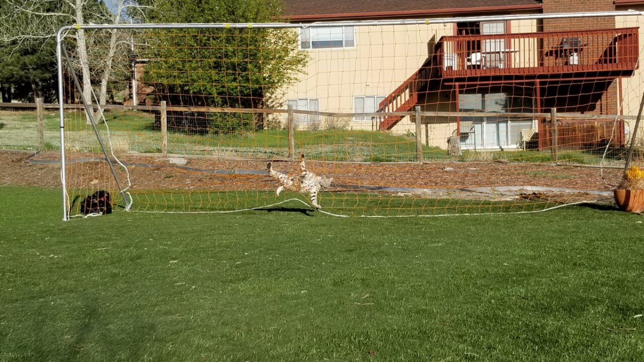 Bobcat trapped in soccer net in Colorado Springs
