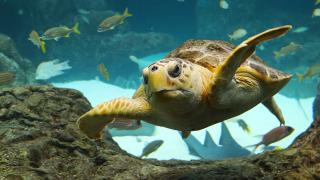 Loggerhead-florida-aquarium.png