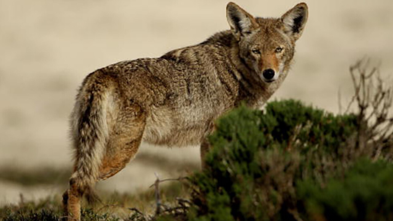 Ohio police department makes wily request about coyotes
