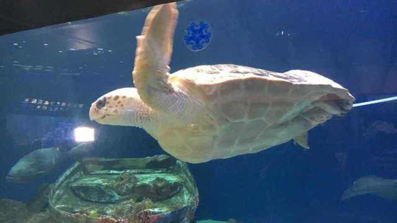 Injured turtle saved by Birch Aquarium research