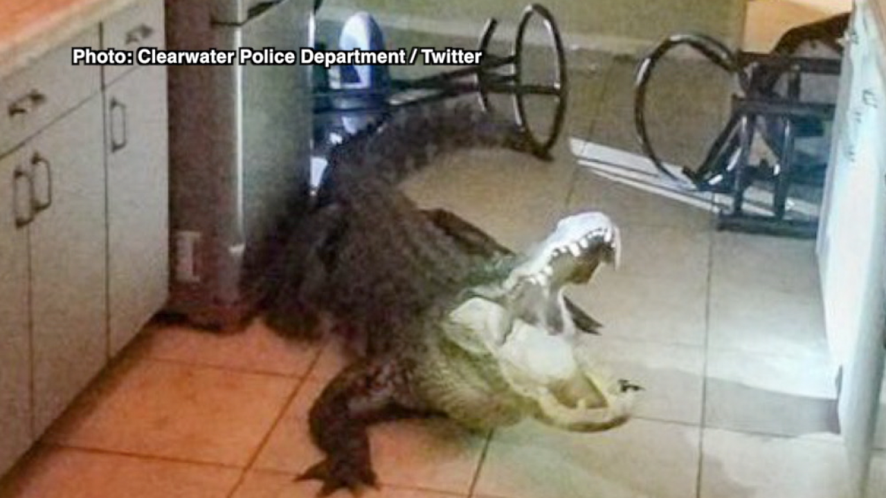 Insurance claim denied after 11-foot alligator breaks into Clearwater home