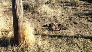 golden_eagle_killed_near_oakley_february_2020.jpg