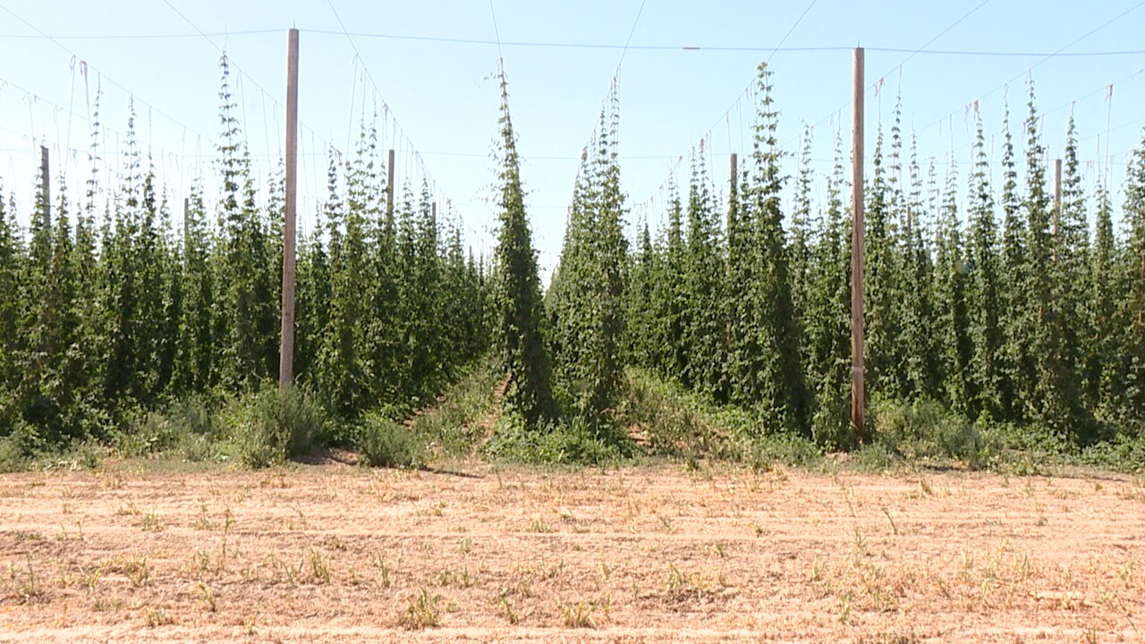 hop fields .jpg