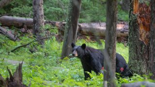 2 bears euthanized in Yellowstone National Park, search for third underway