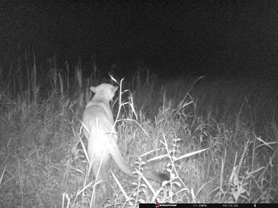 Cougar sighting Oct 13 2020.png
