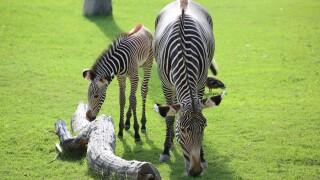 Reid Park Zoo baby zebra dies - handout
