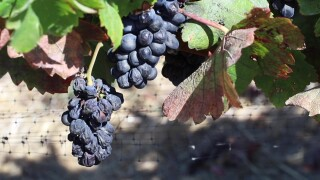 Impact of wildfires on wine industry could be felt for years to come