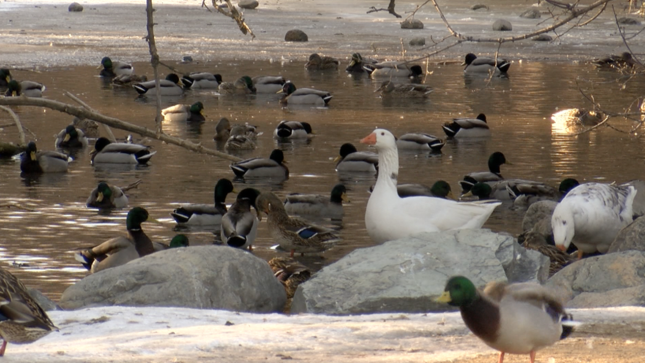Waterfowl.png