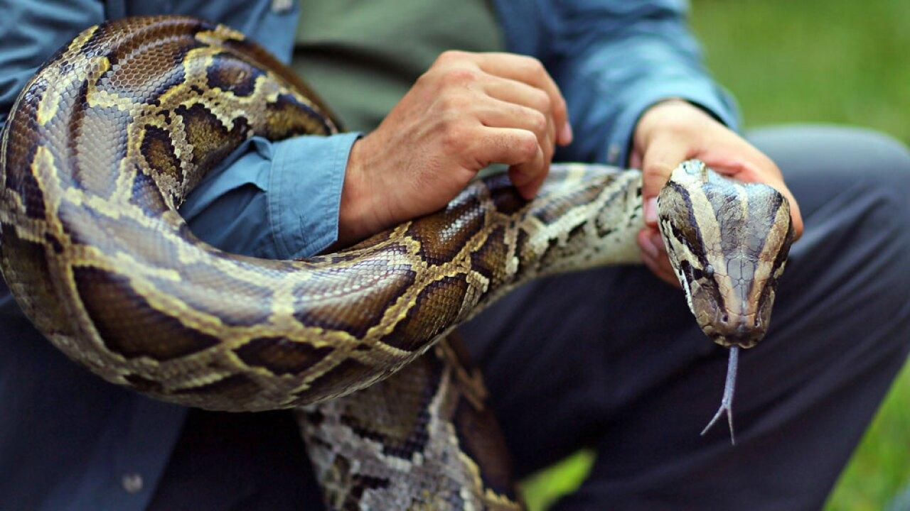 wptv-burmese-python-getty-.jpg