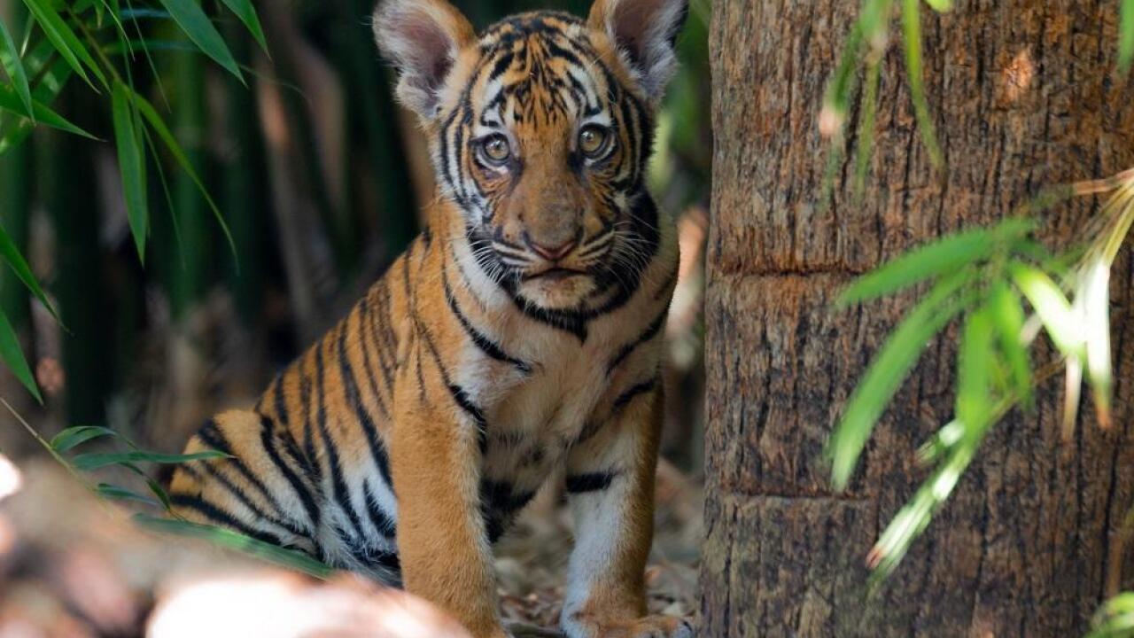 The female Malayan tiger cub (with heart marking) watches her siblings play in the Tiger River habitat at Palm Beach Zoo