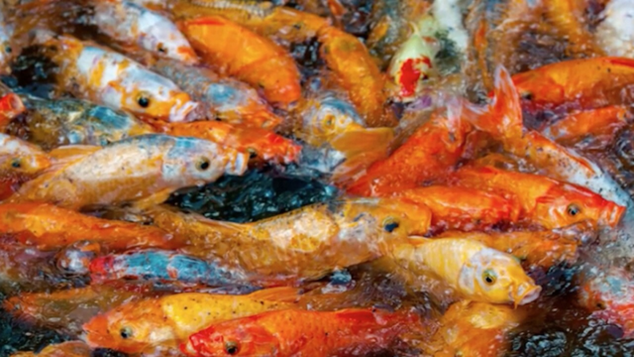 Goldfish as an invasive species? They are taking over one Washington lake
