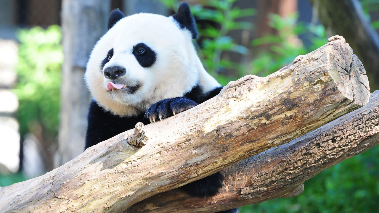 Bye bye, Bei Bei: Beloved giant panda leaving DC for China in private jet