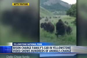 Yellowstone bison stampede