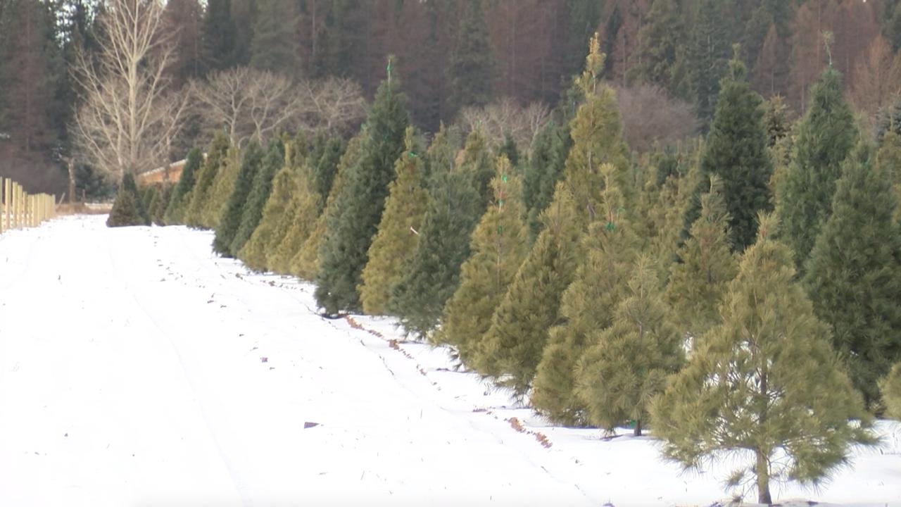 Bigfork Christmas tree farm