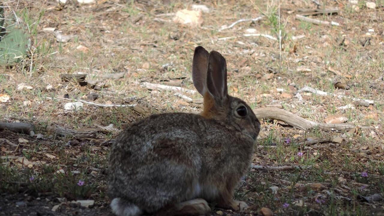 Grand Canyon Rabbit - Handout