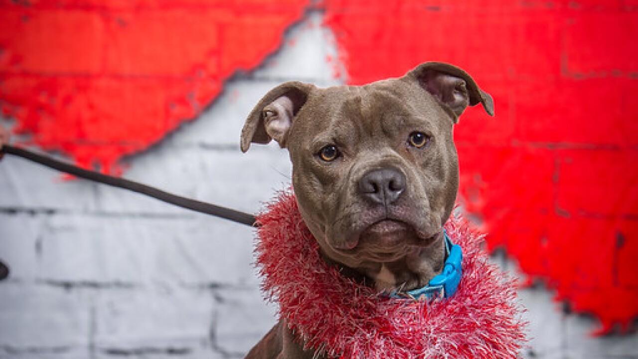 Ingham County Animal Shelter Halloween 2020 Ingham County Animal Shelter Features Adopt a Bull Dogs Special