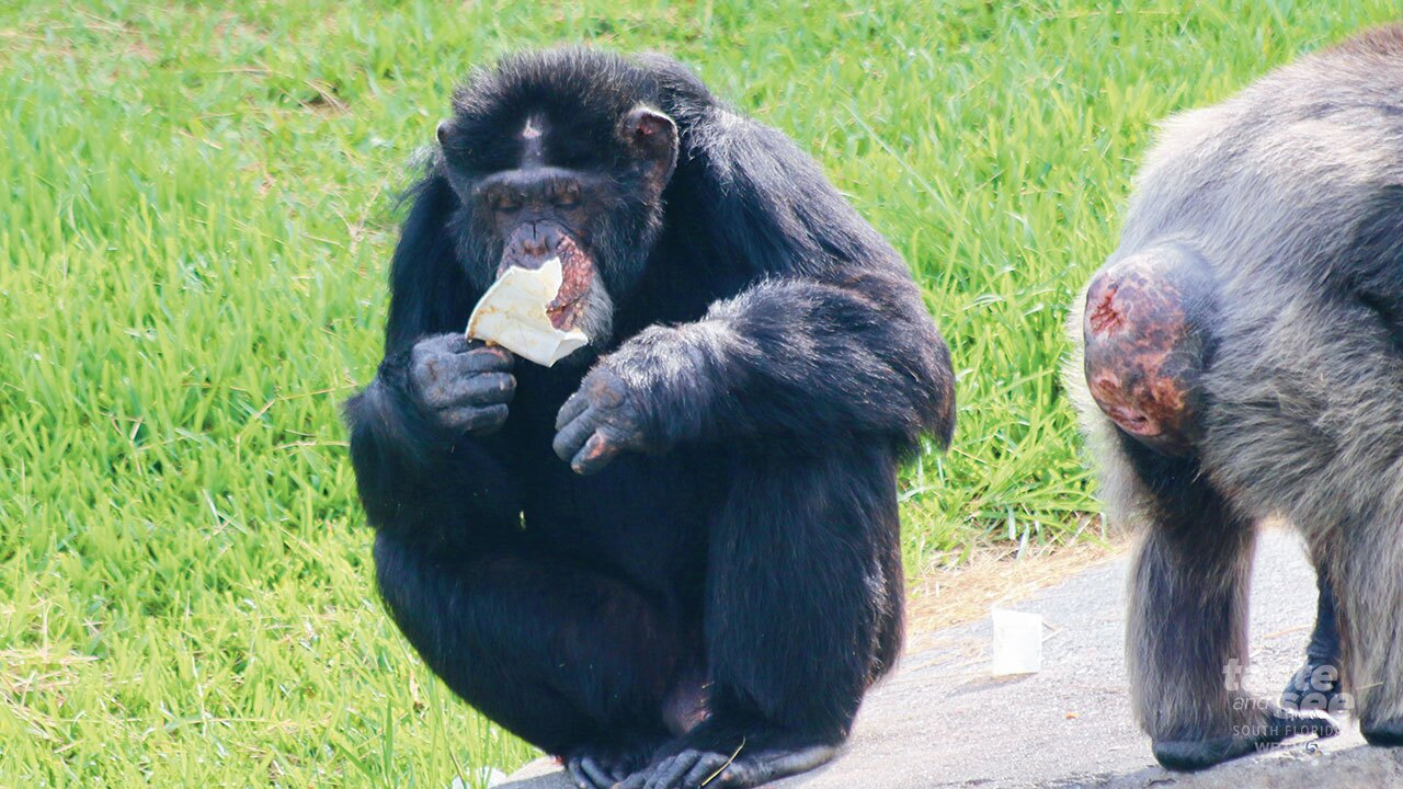 Higgy is the Alpha male chimpanzee at Lion Country Safari.  He takes what he wants from the others his keepers use a frisbee to medicate the other chimps in the troupe.