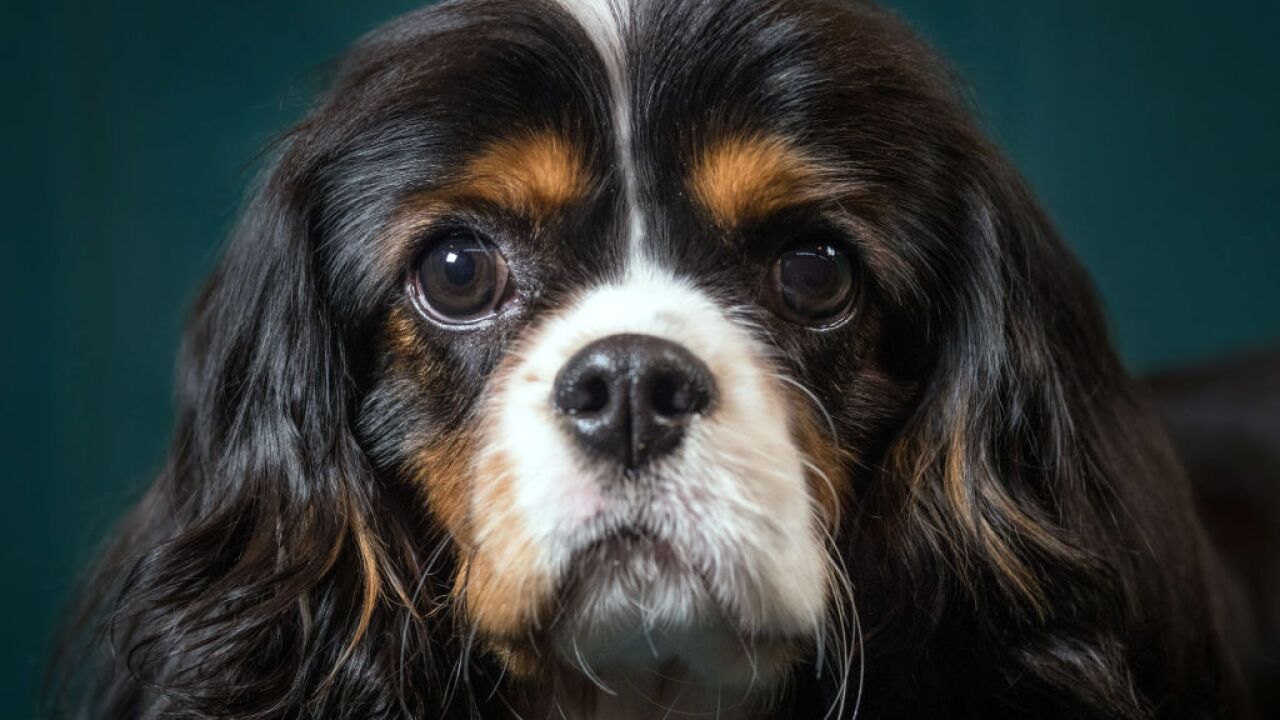 Scientists are using gene therapy to treat a heart disease in dogs. Could humans be next?