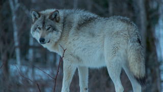 FWP may expand wolf hunting opportunities in NW Montana