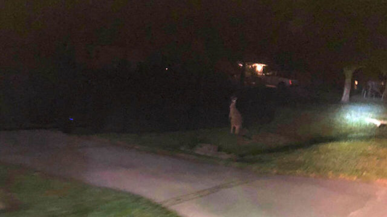 Missing kangaroo found safe, captured overnight