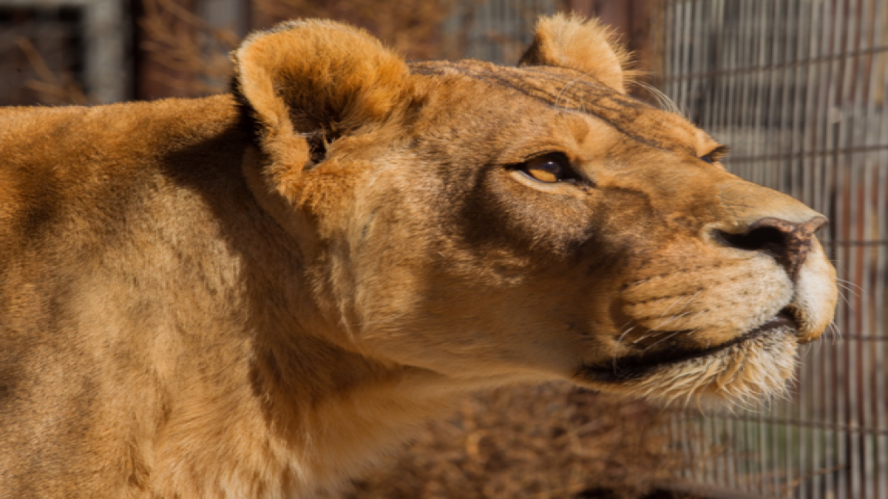 11 big animals euthanized from Colo. sanctuary