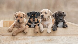 The number of online puppy scams is rising sharply amid the pandemic, BBB warns