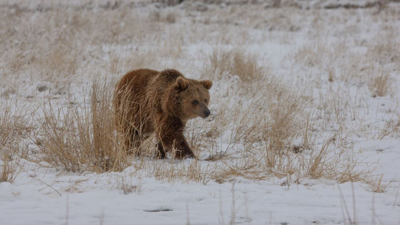 Grizzly at  The Wild Animal Sanctuary